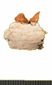 http://www.adias-uae.com/fossils/THUMS/Hamraplesio2.jpg