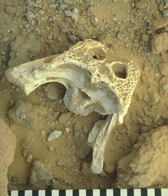 Posterior part of a crocodile skull found at Shuweihat (Photograph by Peter Whybrow)
