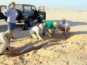 ADIAS team measures the 2.54 metre long tusk of Stegotetrabelodon syrticus (Photograph by Dr Mark Beech)